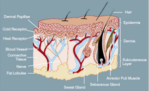 skin-protecting-body-from-bacteria